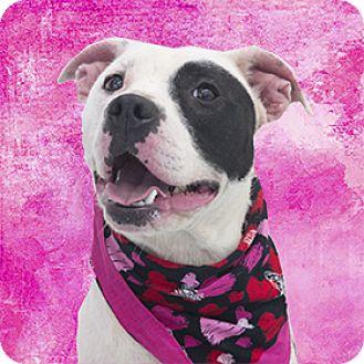 Staffordshire Bull Terrier Mix Dog for adoption in Cincinnati, Ohio - Angel