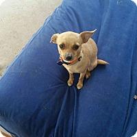Adopt A Pet :: Pippin - Vacaville, CA