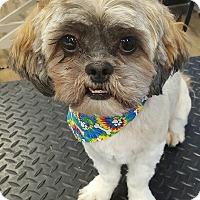 Adopt A Pet :: Taz - Patterson, NY