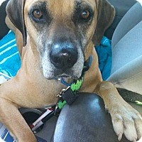 Rhodesian Ridgeback Mix Dog for adoption in Ft. Lauderdale, Florida - Buddy