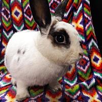 Adopt A Pet :: Apache Princess - Erie, PA