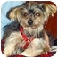 Photo 1 - Yorkie, Yorkshire Terrier Mix Dog for adoption in Tallahassee, Florida - Avery