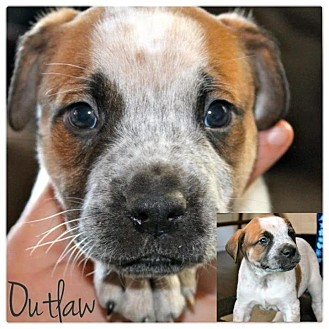 American Bulldog/American Pit Bull Terrier Mix Puppy for adoption in Garden City, Michigan - Outlaw