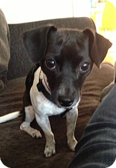 Rat Terrier/Chihuahua Mix Dog for adoption in Chicago, Illinois - MIRI