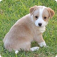 Adopt A Pet :: Misty - La Habra Heights, CA