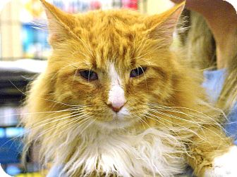 LaPerm Cat for adoption in Pittstown, New Jersey - Garfield