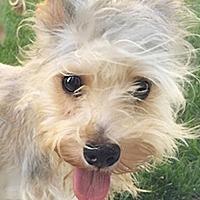 Adopt A Pet :: Chipie - Studio City, CA