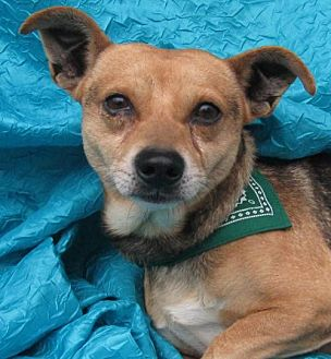 Jack Russell Terrier/German Shepherd Dog Mix Dog for adoption in Cuba, New York - Bingo Gonska