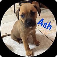 Adopt A Pet :: Ash - Marlton, NJ