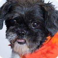 Shih Tzu Dog for adoption in Colorado Springs, Colorado - Peter