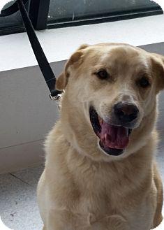Labrador Retriever Mix Dog for adoption in Deer Park, New York - Mr. Wiggles