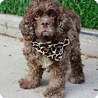 Adopt A Pet :: Brownie Cake - Flushing, NY