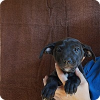Adopt A Pet :: Dream - Oviedo, FL