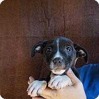 Adopt A Pet :: Kit - Oviedo, FL