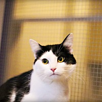 Adopt A Pet :: Patches - Lincoln, NE