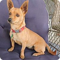 Adopt A Pet :: Katie - La Habra Heights, CA