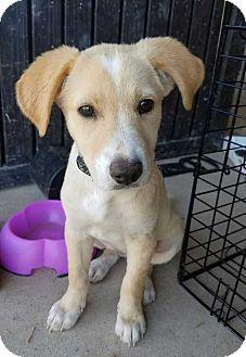 Terrier (Unknown Type, Small) Mix Puppy for adoption in Allen, Texas - Fennel