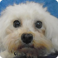 Adopt A Pet :: Sweet Pea - Chesterfield, MO