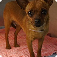 Adopt A Pet :: angel baby - haslet, TX