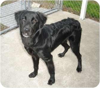 Flat Coated Retriever Cross Sport | Adopted Dog | ...