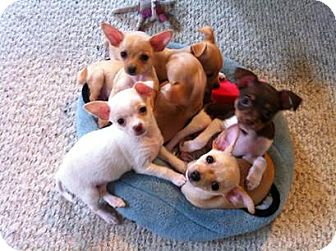 Chihuahua Mix Puppy for adoption in San Diego, California - Puppies