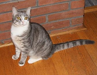 Domestic Shorthair Cat for adoption in Westminster, Maryland - Nibble