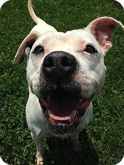 Boxer Mix Dog for adoption in Xenia, Ohio - Hazel