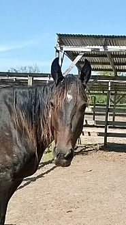 Quarterhorse Mix for adoption in Hitchcock, Texas - Violet