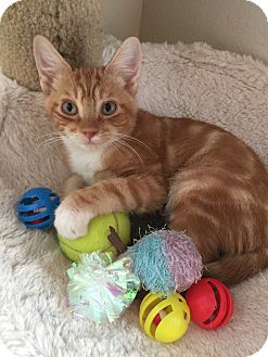 Domestic Shorthair Kitten for adoption in Plano, Texas - Garfield- NOT QUITE A FAT CAT!