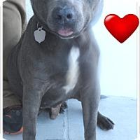 Adopt A Pet :: Graybo - Pensacola, FL