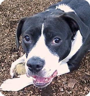 Boxer/Labrador Retriever Mix Dog for adoption in Scottsdale, Arizona - Zoey Luv