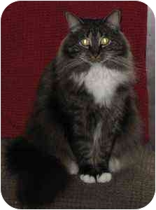 Maine Coon Cat for adoption in Austin, Texas - Samantha