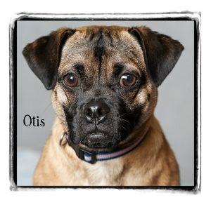 Pug/Jack Russell Terrier Mix Dog for adoption in Warren, Pennsylvania - Otis