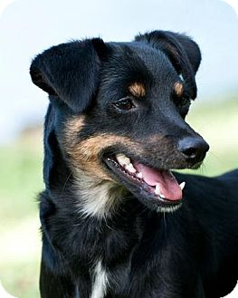 Manchester Terrier/Chihuahua Mix Dog for adoption in Houston, Texas - Layla