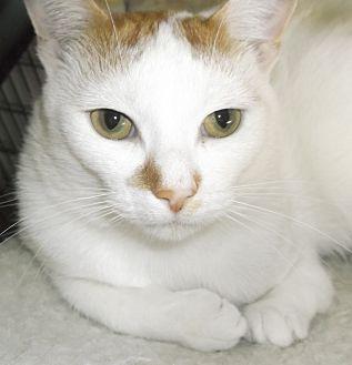 Domestic Shorthair Cat for adoption in Farmington Hills, Michigan - Hoppy
