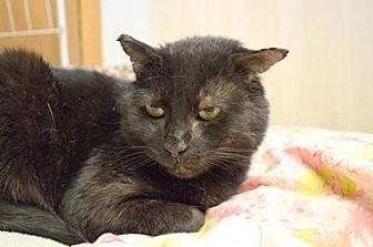 Domestic Shorthair Cat for adoption in Queens, New York - Frankie