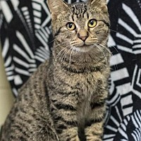 Domestic Shorthair Cat for adoption in South Haven, Michigan - Twix