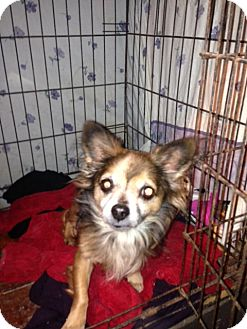 Chihuahua Dog for adoption in Wanaque, New Jersey - squiggy