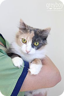 Calico Cat for adoption in Mission Viejo, California - Audrey