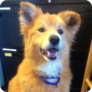Golden Retriever Mix Dog for adoption in Redondo Beach, California - Flaxy - courtesy