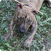 Adopt A Pet :: Grace - DFW, TX