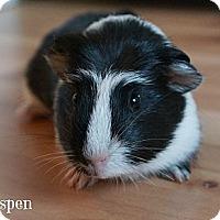 Adopt A Pet :: Aspen - Brooklyn Park, MN