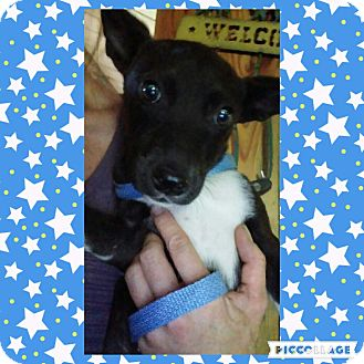 Labrador Retriever/German Shepherd Dog Mix Puppy for adoption in Cranston, Rhode Island - Sandra