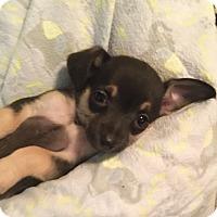 Adopt A Pet :: Tidbit - Brea, CA