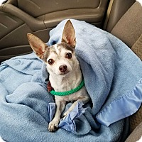 Chihuahua Mix Dog for adoption in Lakewood, Colorado - Willow