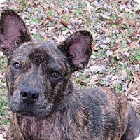 Pit Bull Terrier Mix Dog for adoption in Broken Arrow, Oklahoma - Phoenix