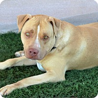 Pit Bull Terrier/American Pit Bull Terrier Mix Dog for adoption in Palm Springs, California - Samson