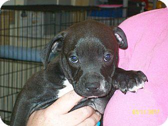 Pit Bull Terrier/Catahoula Leopard Dog Mix Puppy for adoption in Mexia, Texas - Leonardo