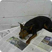 Adopt A Pet :: DAFFY - Atlanta, GA