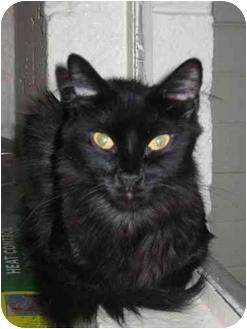 Domestic Longhair Cat for adoption in Scottsdale, Arizona - Misty